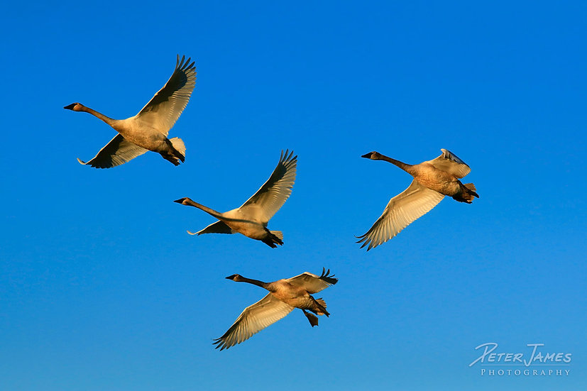 Trumpeter Swans Aflight