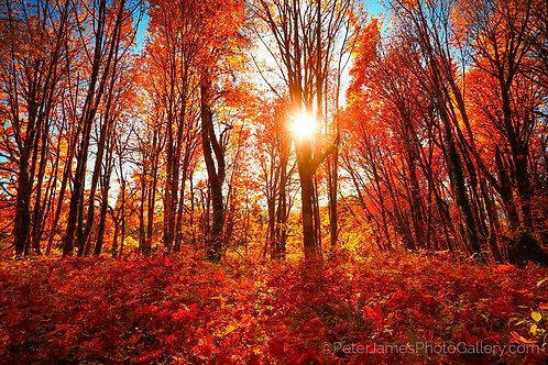Maple Grove In Autumn