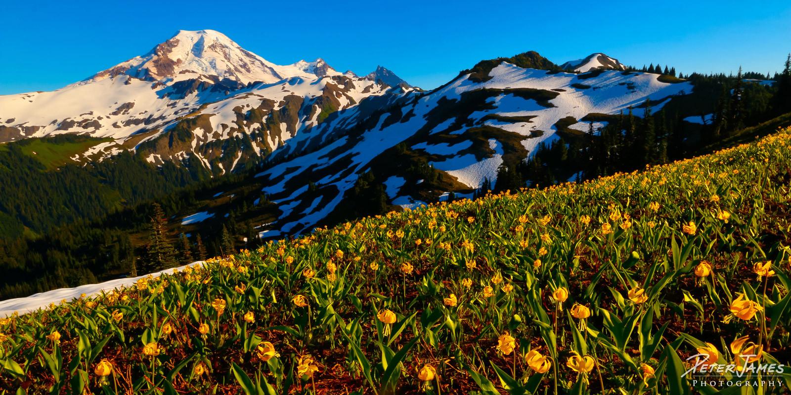 Glacier Lilies Beneath Mt. Baker