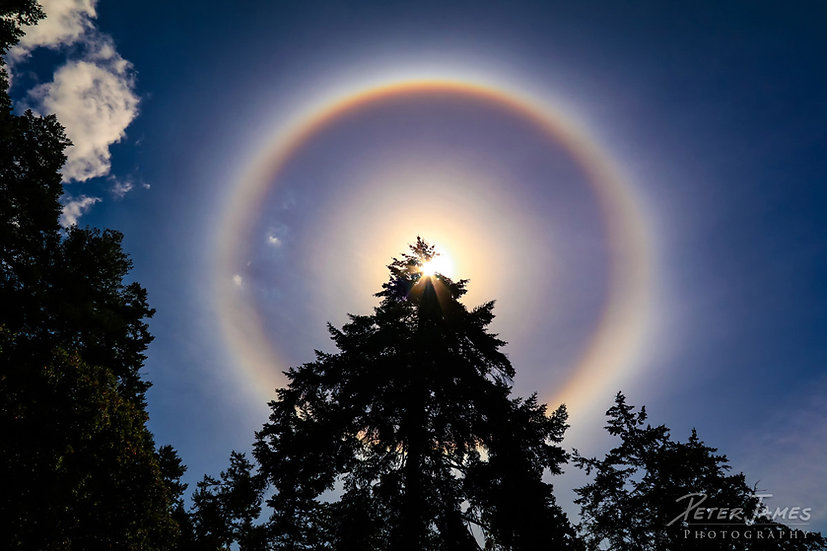 Rainbow Halo on Douglas Fir