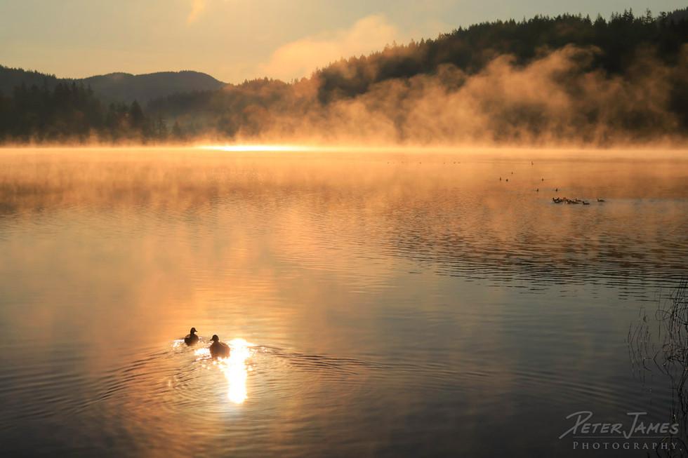 Mist And Mallards At Lake Padden