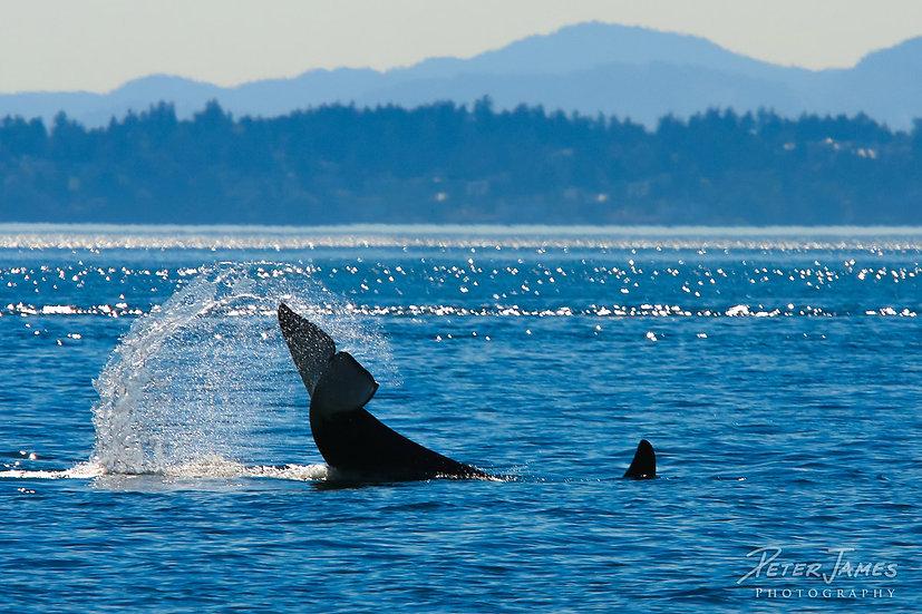 Playful Orca Tail