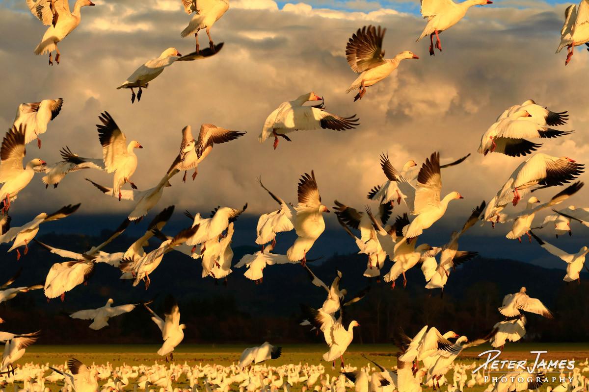 Skagit Snow Geese Taking Flight