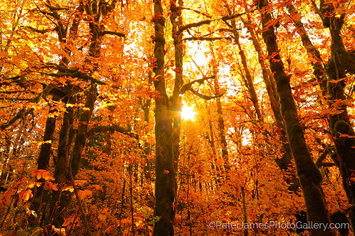Sunshine In The Fall Forest
