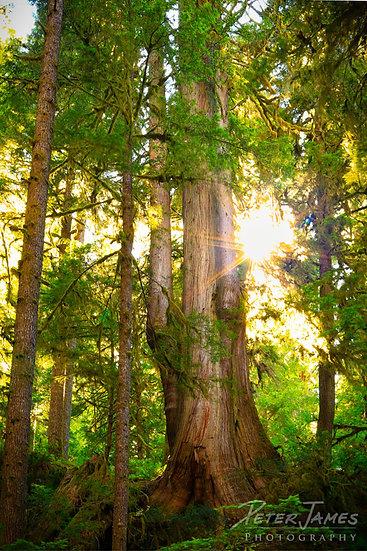 Quinault River Grandfather Cedar
