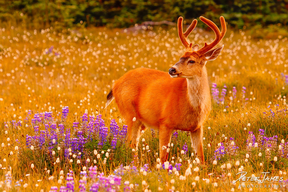 Olympic Blacktail Buck