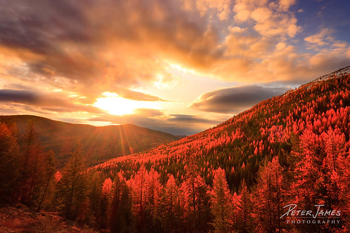 Sunlit Larches At Sherman Pass