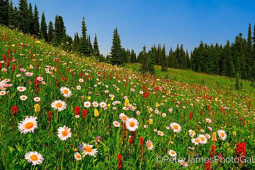 Wildflower Mountain Meadow