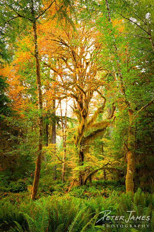 Olympic Rainforest Mother Maple