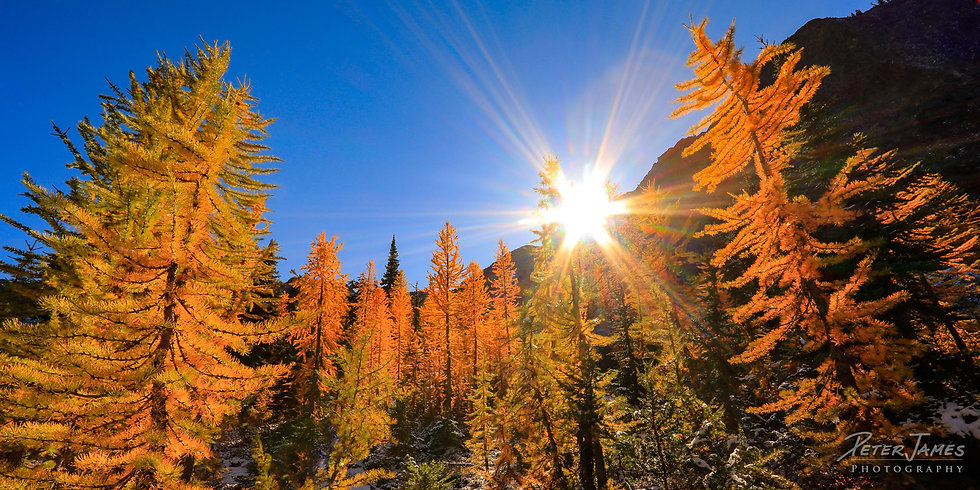 Sunburst In The Golden Larches