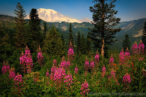 Fireweed Field At Mount Rainier