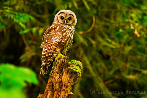 Barred Owl Near Nooksack River