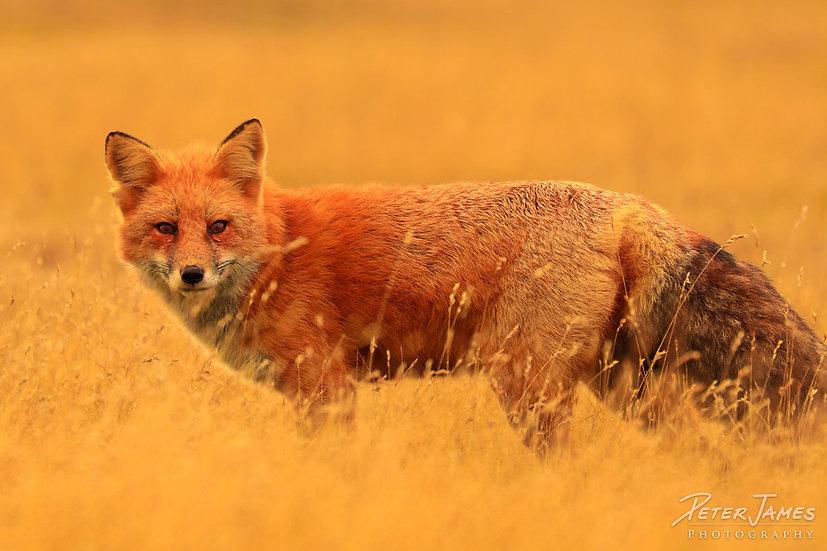 Friendly Fox at South Beach