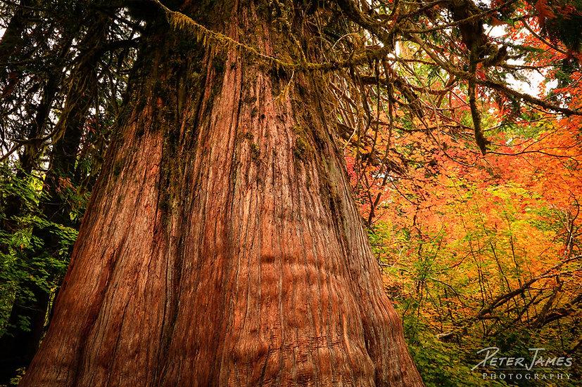 Grove of the Patriarchs Mount Rainier NP