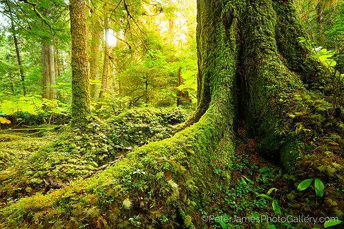 Mossy Rainforest Morning