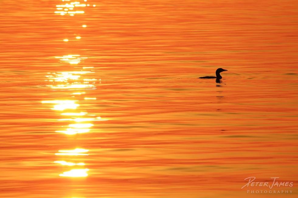 Lone Loon On Luminous Sea