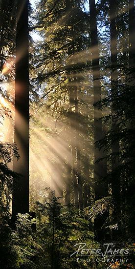 Sunbeam Forest Delight