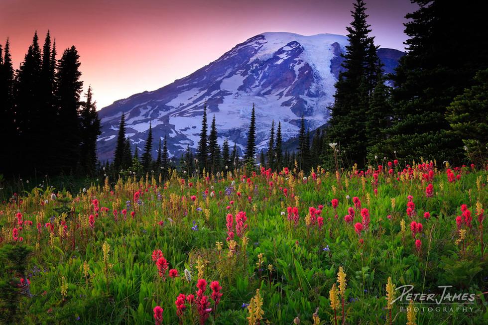 Mount Rainier Dusk On Mazama Ridge