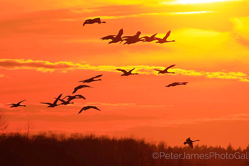 Swans In A Rich Orange Sky