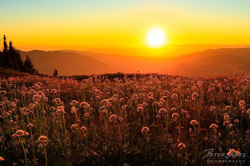 Alpine Meadow Of Wild Valerian Flowers