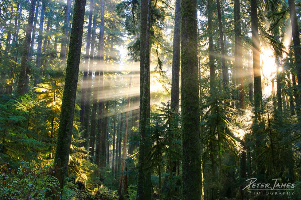 Sunbeams In Misty Forest