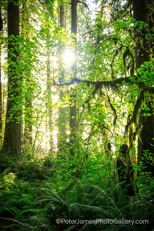 Rainforest Sunburst
