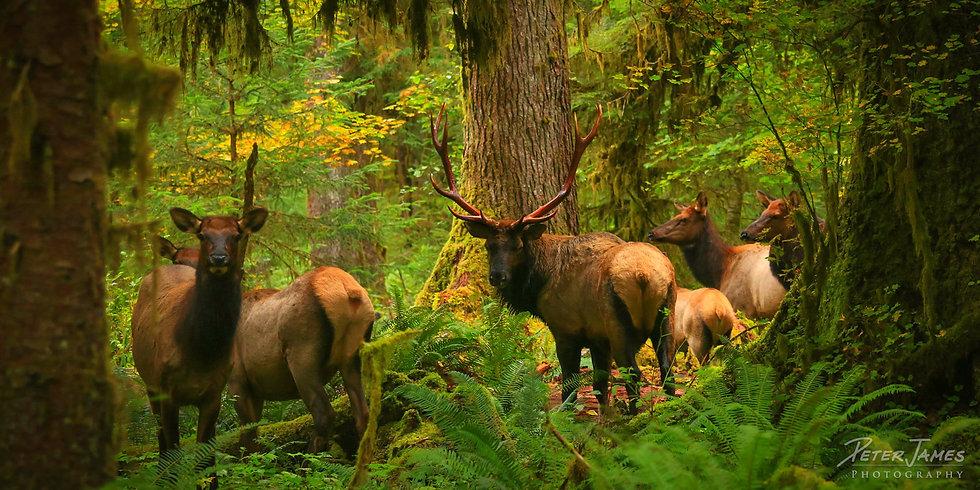 Olympic Rainforest Roosevelt Elk