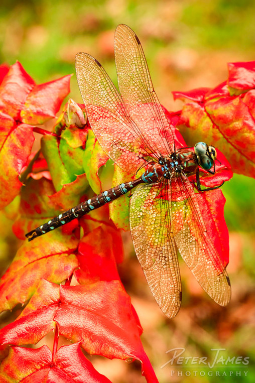 Dragonfly With Dewdrop Wings