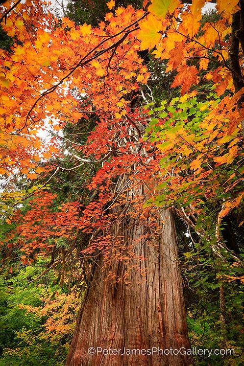 Red Cedar and Vine Maple