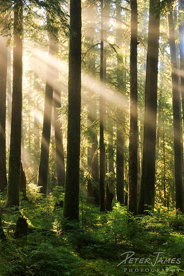Magical Forest Morning