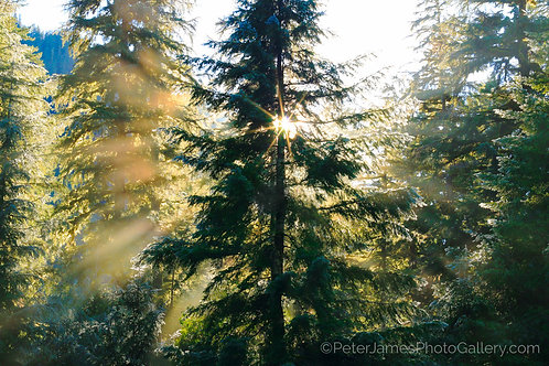 Sunburst Through Evergreens