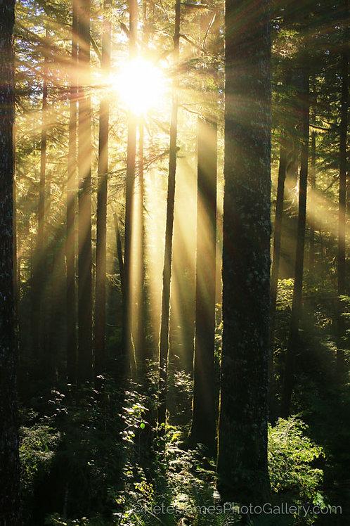 Full Sunburst Through The Trees