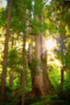 Old Growth Cedar Tree on the Olympic Peninsula
