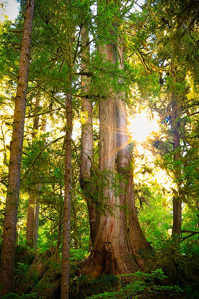 Old Growth Cedar Tree on the Olympic Peninsula