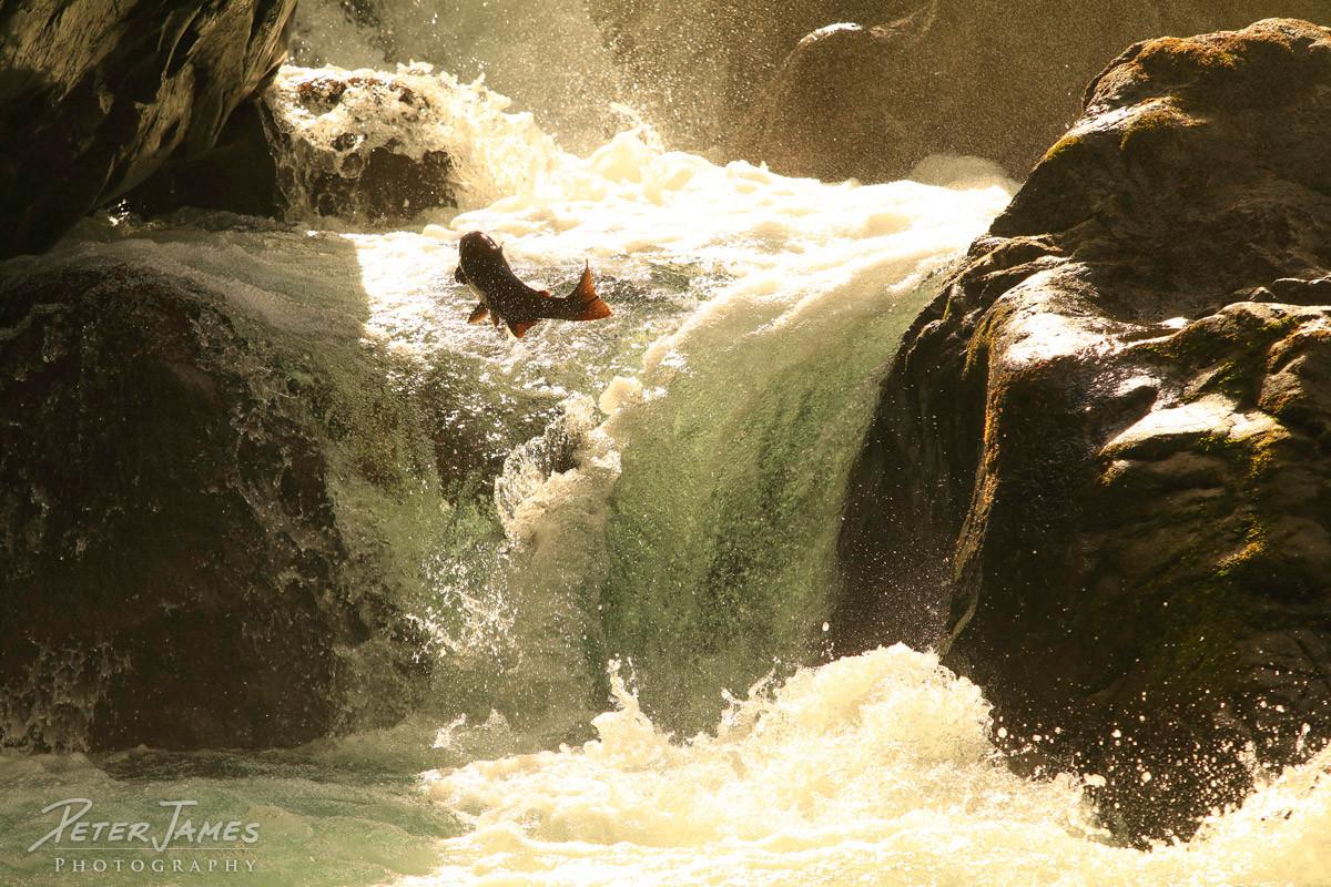 Salmon Leap of a Lifetime