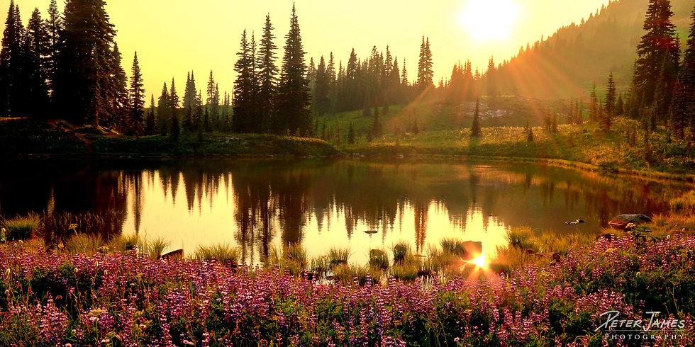 Lupins Surrounding Golden Alpine Pond