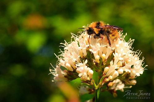 Bee Pollinating Wild Valerian