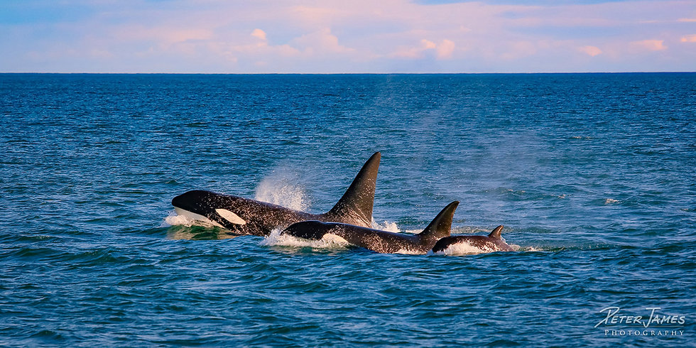 Family Of Transient Orca Whales