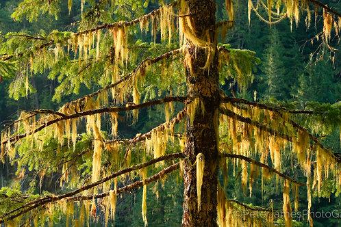 Lichen Covered Spruce