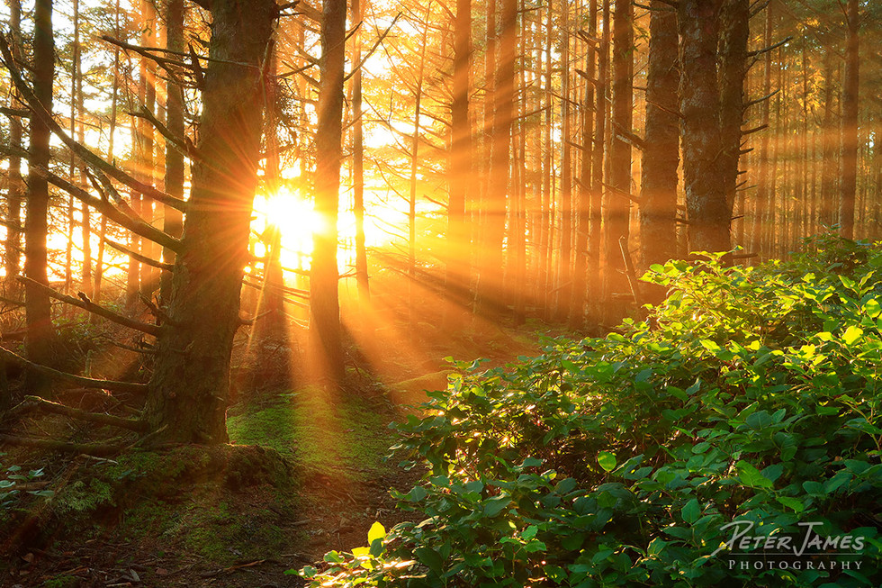 Golden Beams in a Coastal Forest