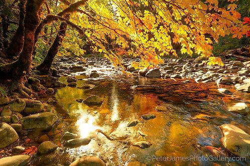 Vivid Maple Over Sol Duc River
