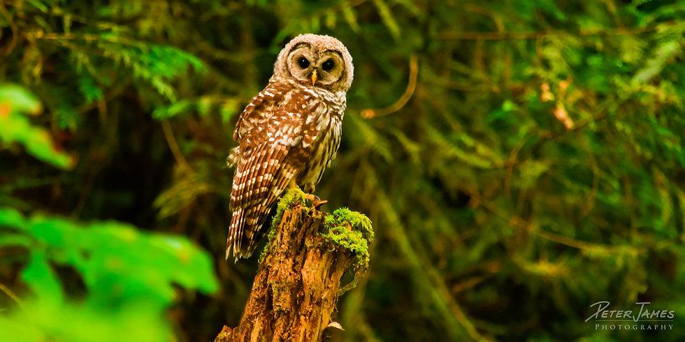 Barred Owl Near Nooksack River