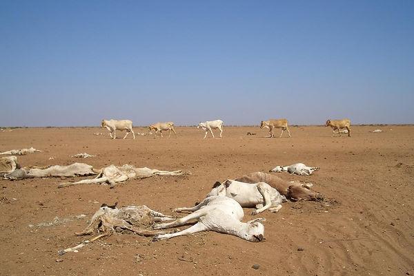 drought-causes-cattle-to-die-in-kenya-c-