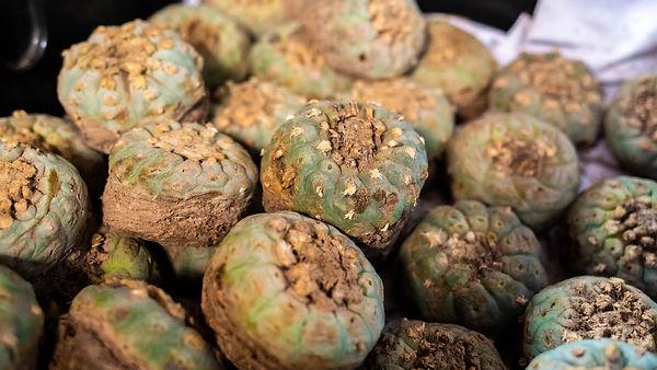 peyote-harvest-cactus-with-mescaline-ins