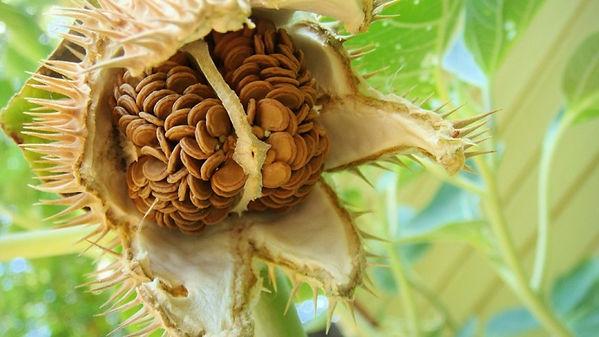 datura seeds.jpg