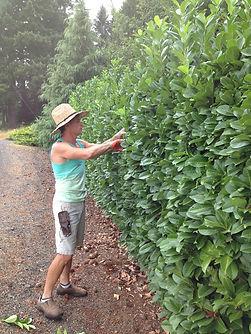 Darin pruning the Laurel Hedge