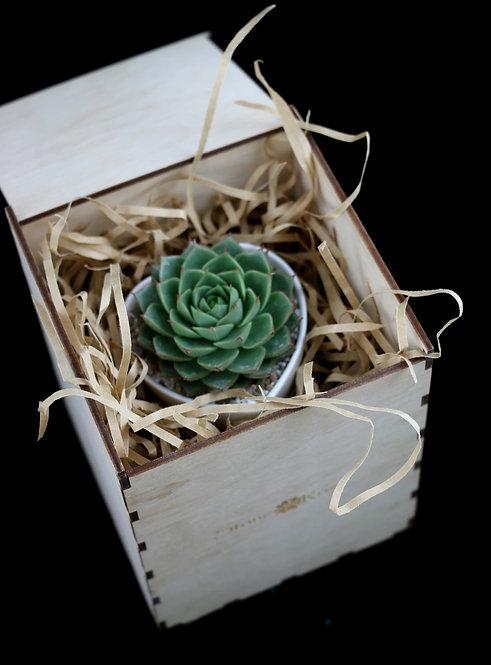 Суккулент в деревянной коробке