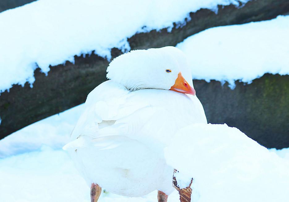 Diepholz Goose