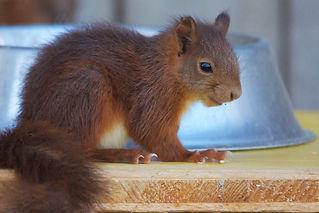 Ecureuil roux 8.jpg