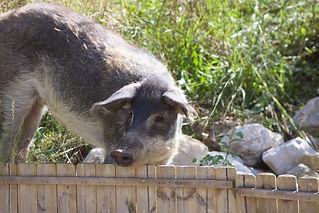 cochon laineux 15.jpg